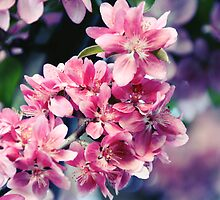 Crabapple Blooms by Linda Fields