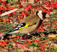 Goldfinch taken Queenstown in NZ by Alwyn Simple
