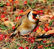 Goldfinch taken Queenstown in NZ (2) by Alwyn Simple