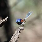 Variegated Fairy-wren by Kerryn Ryan, Mosaic Avenues