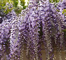 The stunning wisteria display. by Sarah Dawson-Spackman