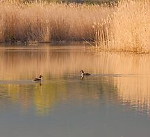 A pair of crested grebes, Oasi Naturalistica di Persano, Campania, Italy by Andrew Jones