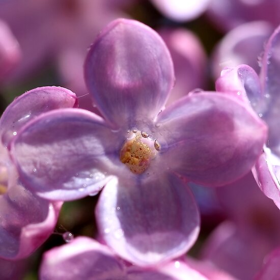 Lilacs with droplets by PhotoTamara