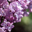 Lilacs by PhotoTamara