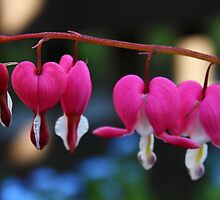 Bleeding Heart by karina5