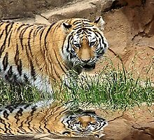 *Tiger Reflection* by DeeZ (D L Honeycutt)
