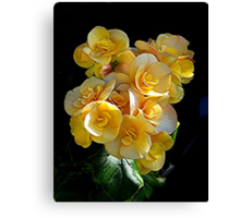 Double Begonia at it's best........! Canvas Print