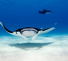 Manta Head On by Karen Willshaw