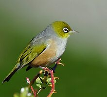 NZ Silvereye taken Wanaka by Alwyn Simple