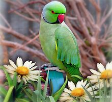 Pretty Please - (Parakeet) by Morag Bates