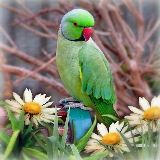 Pretty Please - (Parakeet) by Morag Bates
