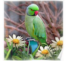 Pretty Please - (Parakeet) Poster