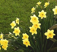 Wagon Wheel Daffodils by Sharon Woerner