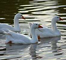 White Geese by TheaShutterbug