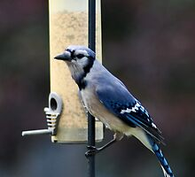 Blue Jay at Feeder by Mark McReynolds