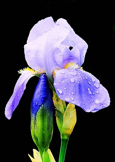 Iris For Mom by Sharon Woerner
