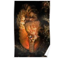 Big Bellied Seahorse Poster