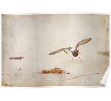 Oyster Catcher - Ocean Beach Poster