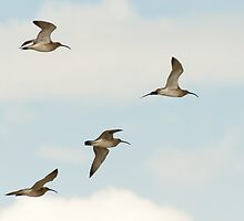 Curlews in flight, Bannow beach, County Wexford, Ireland by Andrew Jones