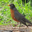 Robin two by Kenneth Vanover
