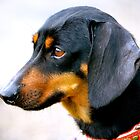 Dash Dog! by Alison Hill