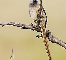 Mousebird by Henry Jager