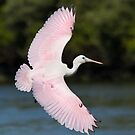 Juvenile Roseate Spoonbill Banking. by Daniel Cadieux