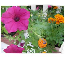 Popping Petunia Poster