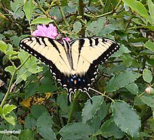 Tiger Swallowtail by Tom Greene