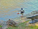 You Put Your Left Leg Out - Mallard Duck Pair by MotherNature