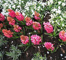 Deep Pink Hyacinths - Keukenhof Gardens by kathrynsgallery