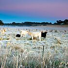 Cold Frosty Morning Near Carcoar in NSW by Jennifer Bailey