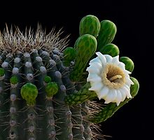 Saguaro Cactus  by Saija  Lehtonen