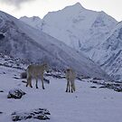 White horses, Nepal by John Spies