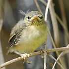 Canary chick by Tina Boissy-Parker