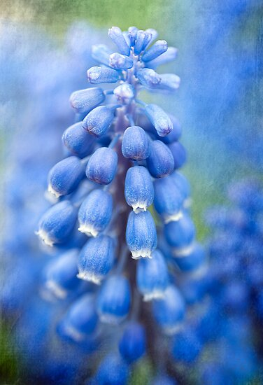 Grape Hyacinth  by Beth Mason
