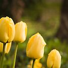 Yellow tulip by Magdalena Warmuz-Dent