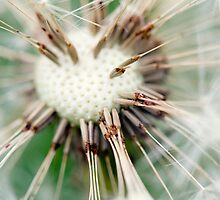 Dandelion 10 by Falko Follert