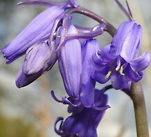 Blubells Ring, Are You Listening by Barrie Woodward