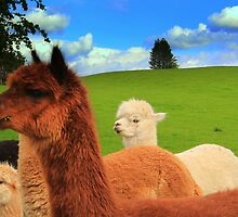 English Llama's, very rare breed !!. by Ian Alex Blease