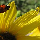 Seven Spotted Lady Beetle on Wild Sunflower by Kimberly Chadwick