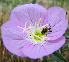 Home Sweet Home - Spotted Cucumber Beetle in Pink Primrose by aprilann