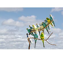 Parakeets perched on a branch againts a cloudy blue sky Photographic Print