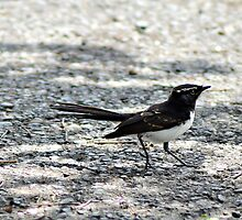 Willy Wagtail by TheaShutterbug