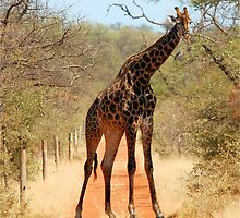 SORRY..., TAKE ANOTHER ROAD! - THE GIRAFFE – Giraffa Camelopardalis (KAMEELPERD) by Magaret Meintjes