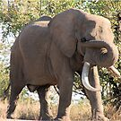 OUCH! GOT SOMETHING IN MY EYE - THE AFRICAN ELEPHANT – Loxodonta Africana by Magaret Meintjes