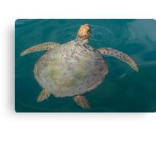 Green Turtle - Monkey Mia - WA Canvas Print