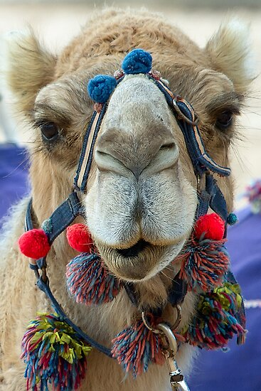 Camel - Monkey Mia - WA by Frank Moroni