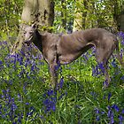 Bluebell in the Bluebell woods by nigelphoto