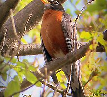 American Robin Red Breast by vette